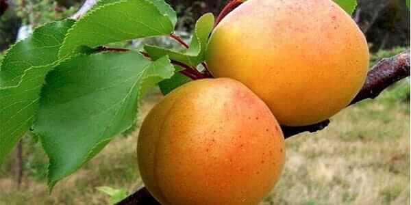 абрикос полесский