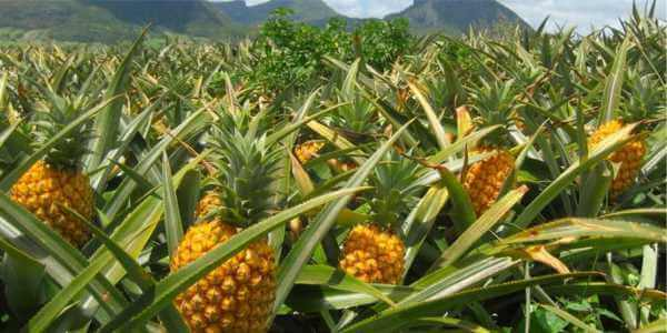 как растет ананас