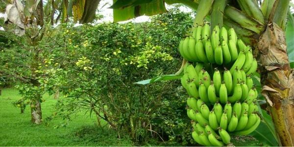 как растет банан