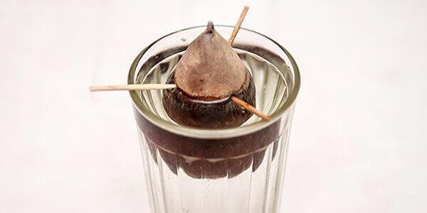 Косточка авокадо в стакане