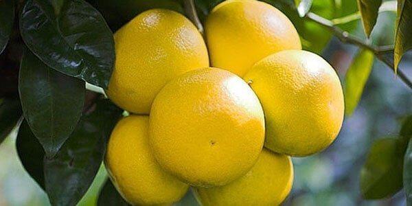 гроздь грейпфрута