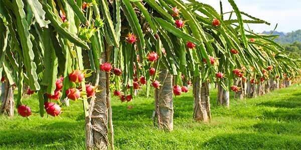 как растёт драгонфрут