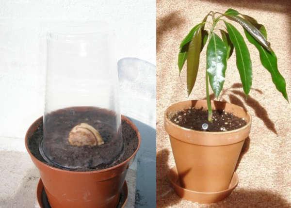Как посадить и вырастить манго из косточки в домашних условиях