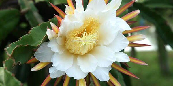 цветы патайи