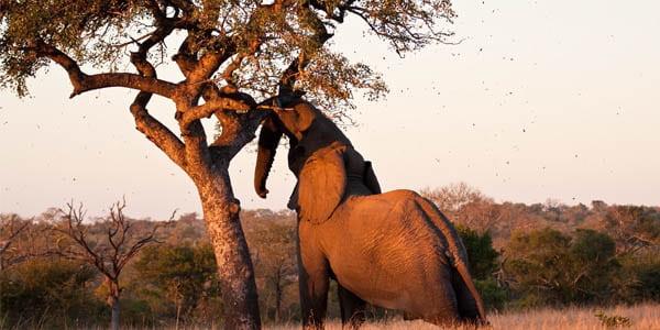 слон есть марулу