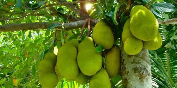как растет джекфрут