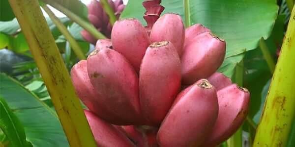 розовый банан