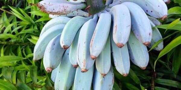 синий банан