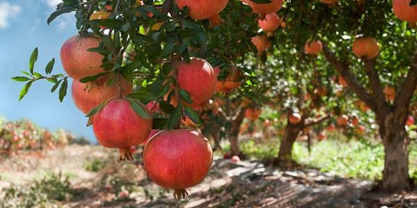 Гранатовые фруктовые деревья