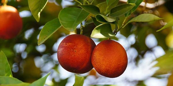 Кровавые апельсины на ветке