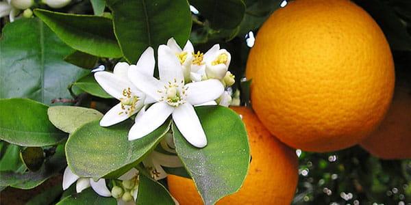 апельсин цветет