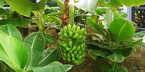 банановой дерево в теплице