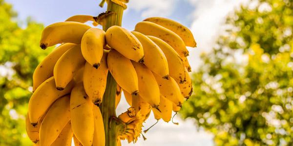 бананчики на ветке