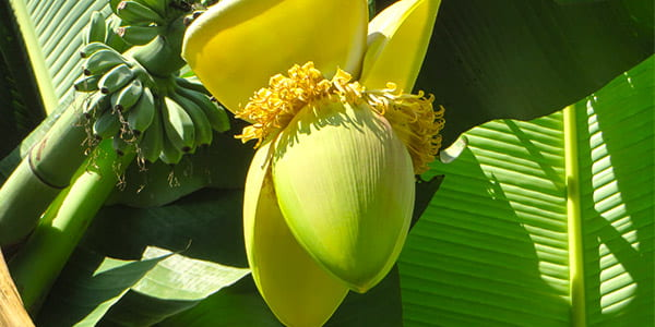 цветёт появляющийся банан