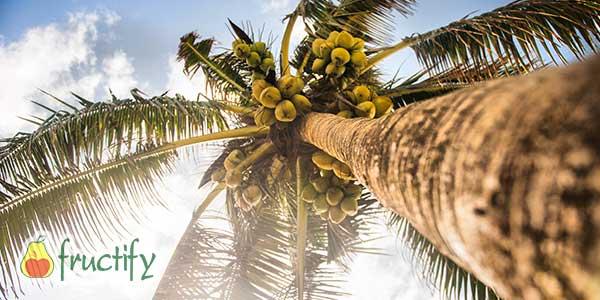 Кокосовая-пальма