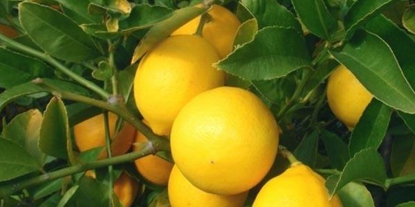Лимон-Мейера