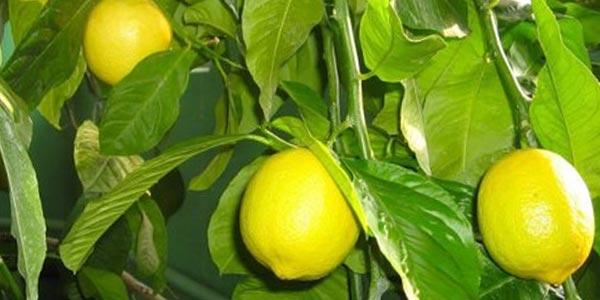 Лимон-Павловский