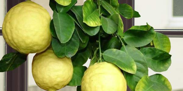 Лимон-пондероза
