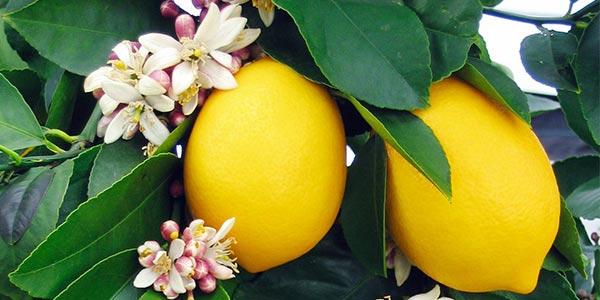 Лимон-цветёт