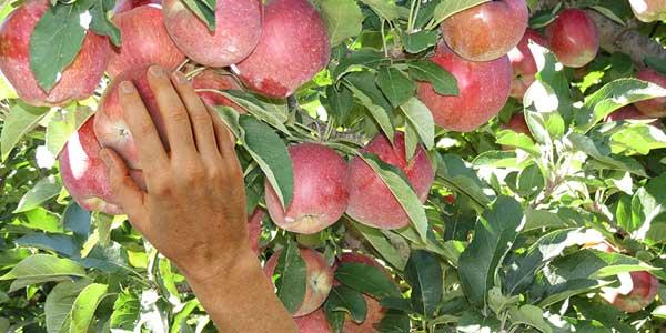 Сбор-урожая-яблок