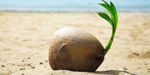 кокос-проросший
