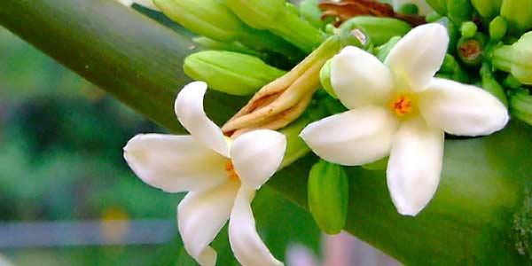 Цветение-папайя