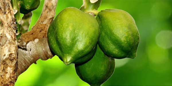 завязь-плодов-папайя