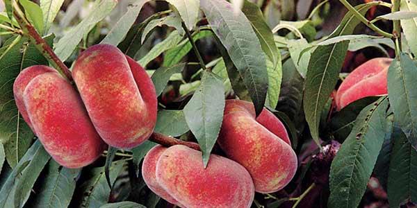 персик-инжирный-на-дереве