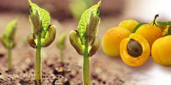 ростки-абрикоса