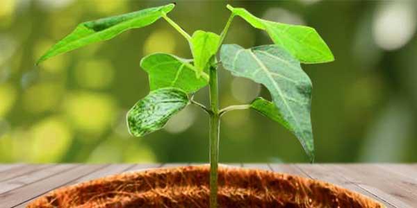 росток-папайя