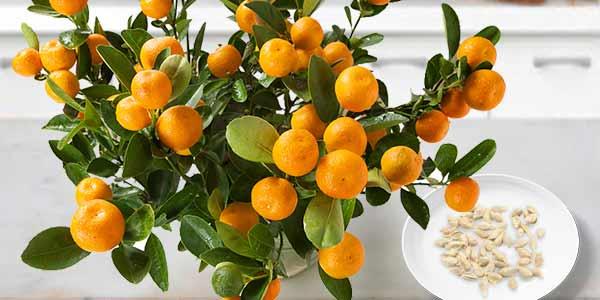 семена-мандарина