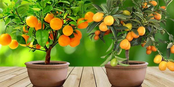 сорта-домашний-мандарин