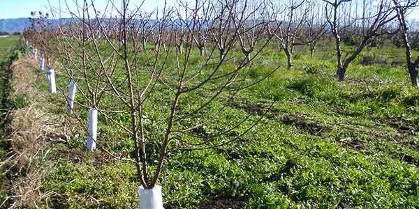 формирование-кроны-персиковых-деревьев
