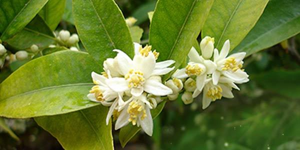цветение-кумквата