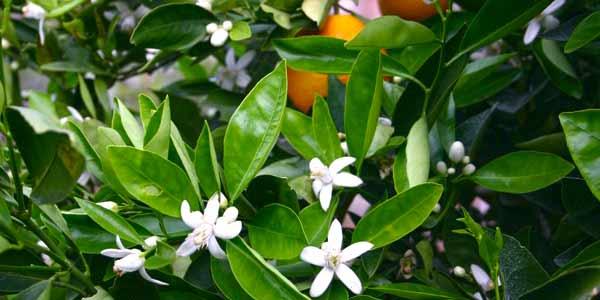 цветение-мандарина