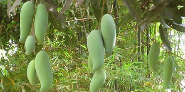 NangKlangWan манго