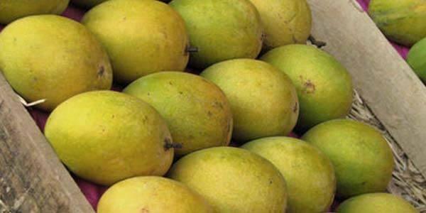 Ocron манго