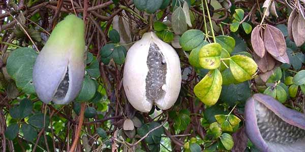 плоды-акебии