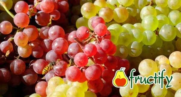 Vinograd (13)