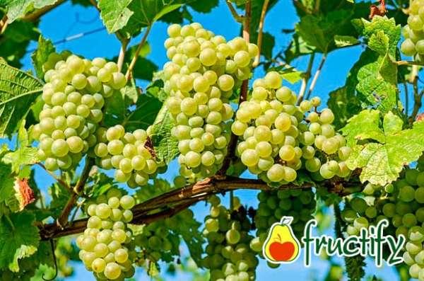 Vinograd (14)