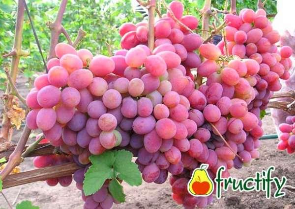 Vinograd (17)