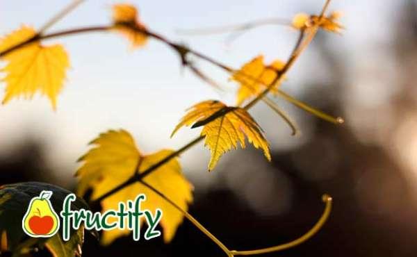 Vinograd (5)