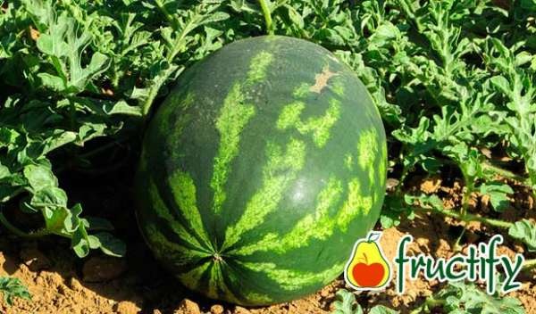 melon (14)