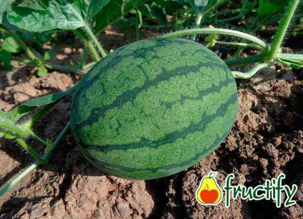 melon (9)