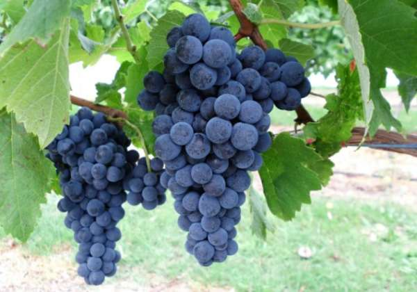 belyj nalet na vinograde (10)