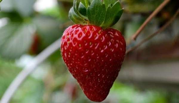 ягода виктория