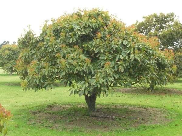 авокадо дерево