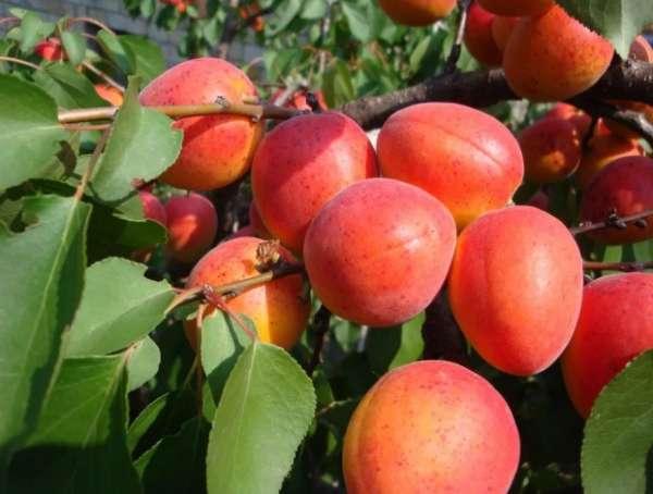 ранний абрикос