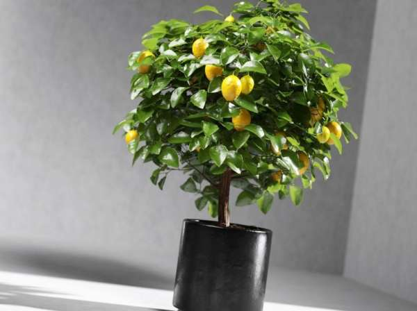 деревце лимона