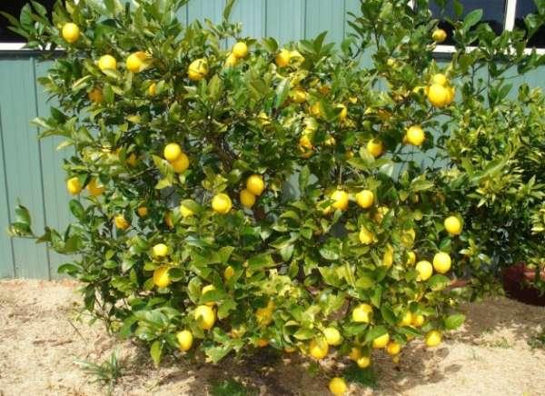 куст лимона